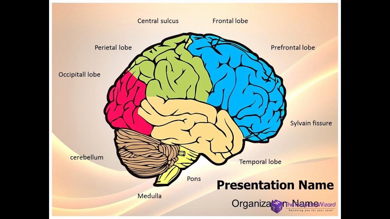 Brain Power Point Templates Lovely Neurology Human Brain Powerpoint Presentation Template